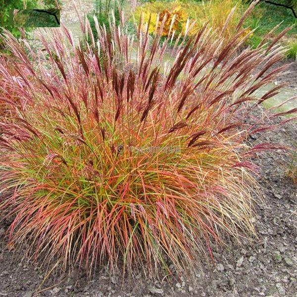 цветов мискантус